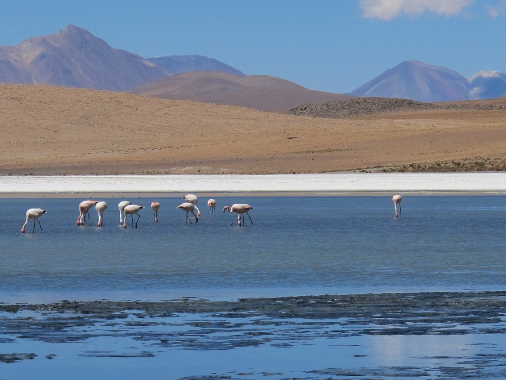 Flamingos on Laguna Colorado