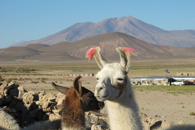 """Early morning visit to the llama corral at the Salt """"Hotel."""""""